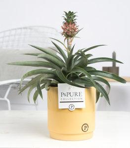 Ananasplant in sierpot naar keuze
