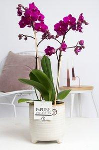 Vlinderorchidee paars in sierpot naar keuze